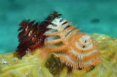 Pair Of Christmas Tree Worms Poster by Jean Noren