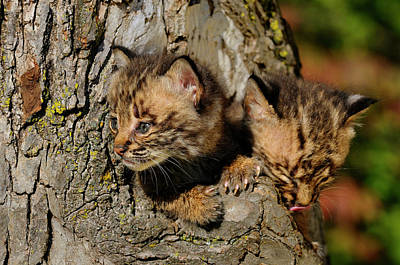 Pair Of Curious Bobcat Kittens Peeking Out From The Hollow Of A  Poster