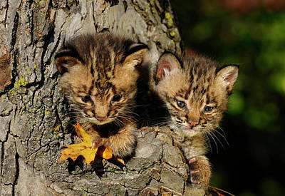 Pair Of Cute Bobcat Kittens Peeking Out From The Hollow Of A Tre Poster