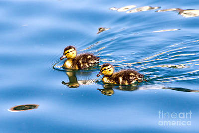 Poster featuring the photograph Duckling Duo by Kate Brown