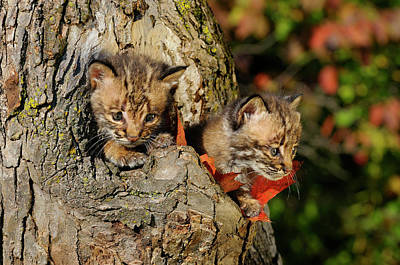 Pair Of Frightened Bobcat Kittens Peeking Out From The Hollow Of Poster