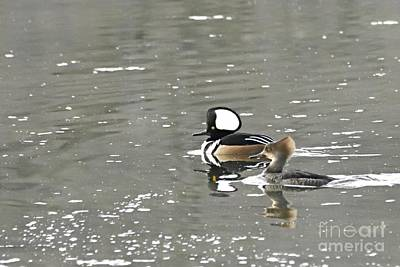 Poster featuring the photograph Pair Of Hooded Mergansers by Larry Ricker