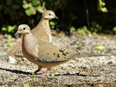 Pair Of Mourning Doves On Ground Poster