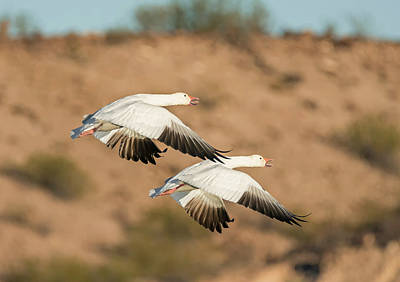 Pair Of Snow Geese In Flight Poster by Loree Johnson