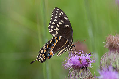 Palamedes Swallowtail And Friends Poster