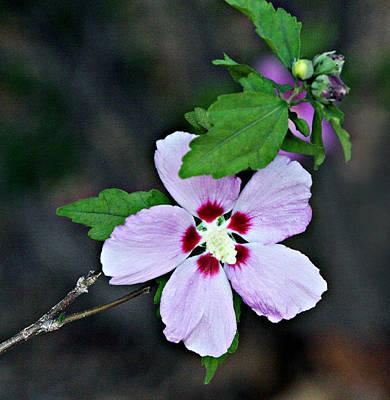 Pale Lavender Hibiscus Poster