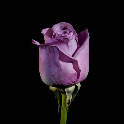 Pale Purple Rose Poster