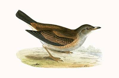 Pale Thrush Poster by English School
