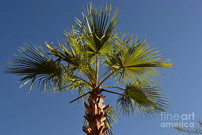 Palm Tree Of Palm Springs Ca Poster by Karen Francis