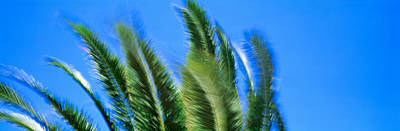 Palm Tree Top In The Wind Poster