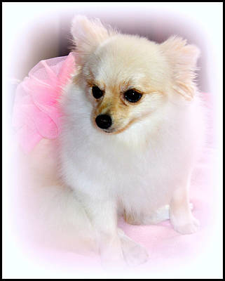 Pampered Pomeranian  Poster by Kathy  White