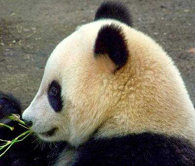 Panda Snack Poster by Karen Wiles