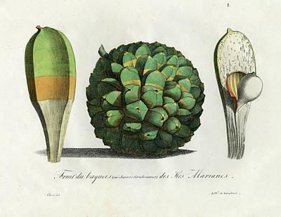 Pandanus Fruit Guam Marianas Poster by Choris