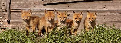 Panoramic Fox Kits Poster