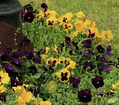 Poster featuring the photograph Pansies by Kim Henderson