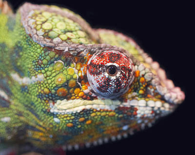 Poster featuring the photograph Panther Chameleon  by Nathan Rupert