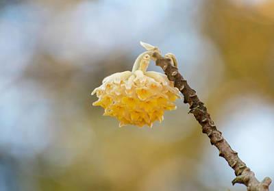 Paperbush Flower Poster