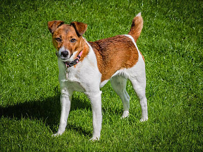 Parson Jack Russell Poster