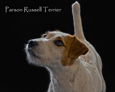 Parson Russell Terrier Poster by Larry Linton