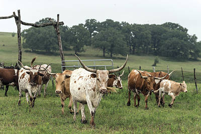 Part Of The 200-head Longhorn Herd At The Lonesome Pine Ranch Poster