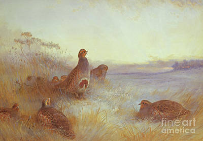 Partridges In Early Morning Poster by Archibald Thorburn