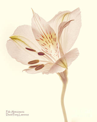 Poster featuring the photograph Pasae Alstroemeria By Flower Photographer David Perry Lawrence by David Perry Lawrence
