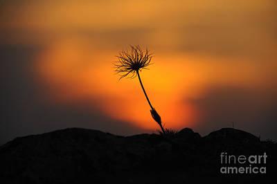 Pasqueflower At Sunset Poster by David & Micha Sheldon
