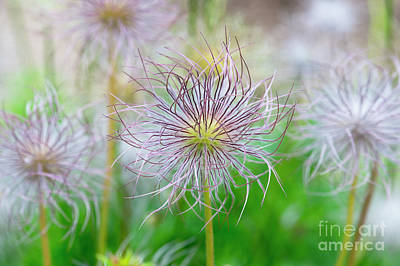 Pasqueflower Seed Heads Poster