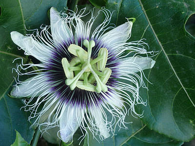 Passion Flower 2 - Passiflora Edulis Var. Flavicarpa Poster by Elena Schaelike