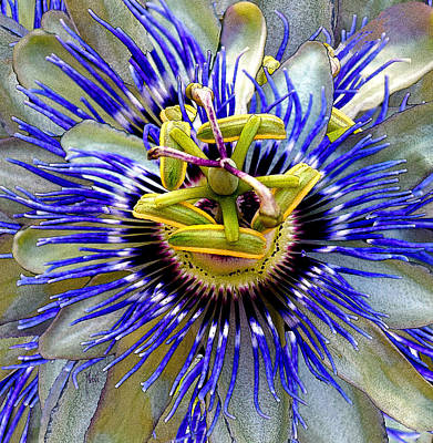 Passion Flower Poster by Michele Avanti