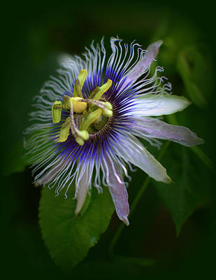 Passion Flower Poster by Nathan Abbott
