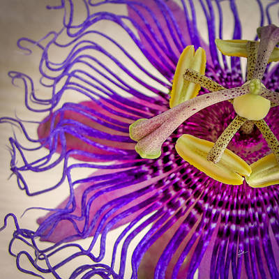 Passion Flower Squared Poster by TK Goforth