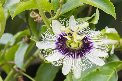 Passion Fruit  And Flower Poster