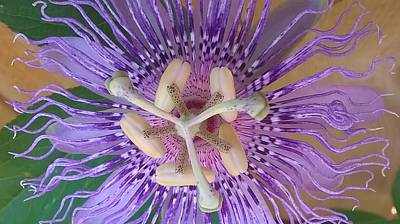 Passion Fruit Flower Poster by Sheryl Chapman Photography