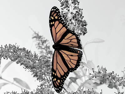 Pastel Monarch On Black And White Poster