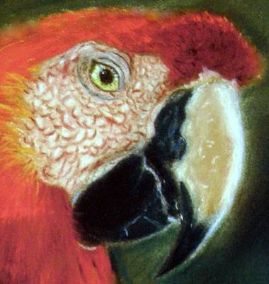 Poster featuring the pastel Pastel Of Red On The Head  by Antonia Citrino