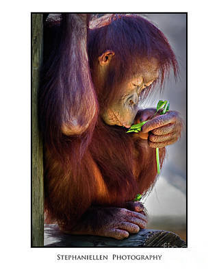 Peaceful Orangutan Poster by Stephanie Hayes
