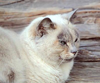 Peaceful Ragdoll Cat Poster by Elenarts Elena Duvernay photography