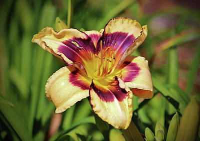 Peach And Wine Daylily Poster by Cynthia Guinn