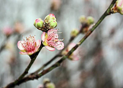 Poster featuring the photograph Peach Blossom by Kristin Elmquist
