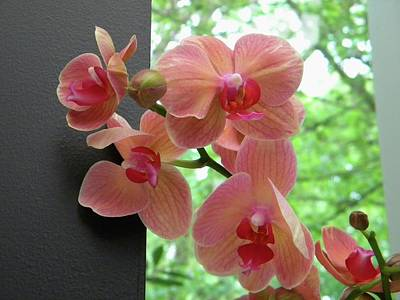Poster featuring the photograph Peach Orchids by Manuela Constantin