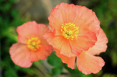 Peach Poppies Poster by Sally Weigand