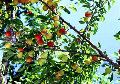Peach Tree With Fruits  Poster