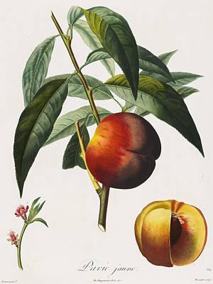 Peaches Poster by Pierre Antoine Poiteau