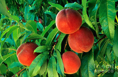 Peaches Prunus Persica Poster by Inga Spence