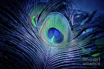 Poster featuring the photograph Peacock Feather Blush by Sharon Mau