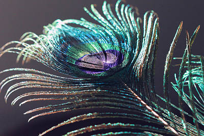 Peacock Feather In Sun Light Poster