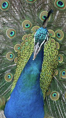 Poster featuring the photograph Peacock by Matthew Bamberg