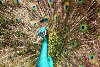 Peacock Portrait Poster by Jean Noren