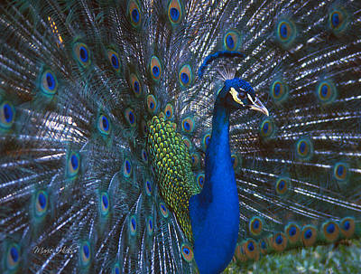 Poster featuring the photograph Peacock Splendor by Marie Hicks